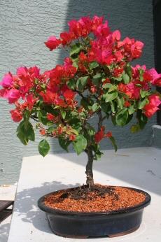 Flowering Bougainvillea Bonsai Tree Pink Pixie