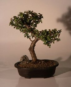 Baby Jade Bonsai Tree - Trained Extra Large (Portulacaria Afra)