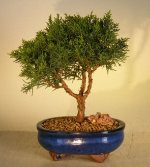 Shimpaku Bonsai Tree Bonsai Tree - Small (shimpaku itoigawa)