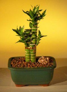 Lotus Bamboo Bonsai Tree Dracena Compacta