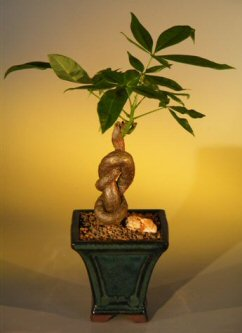 Money Bonsai Tree (Lucky Knot)-Knotted Trunk (pachira aquatica)