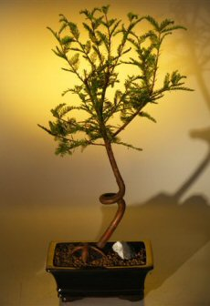 Bald Cypress Bonsai Tree - Coiled Trunk (taxodium distichum)