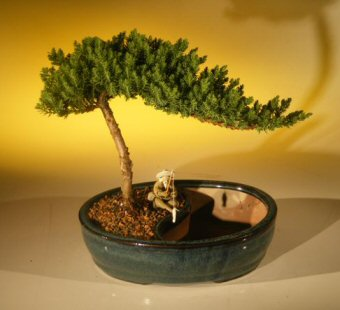 "Juniper Bonsai Tree/Water Bonsai Pot - Medium (juniper procumbens ""nana"")"