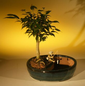 Ficus Oriental Bonsai Tree/Water Bonsai Pot (ficus 'orientalis')
