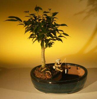 Ficus Oriental Bonsai Tree Water Bonsai Pot Ficus Orientalis