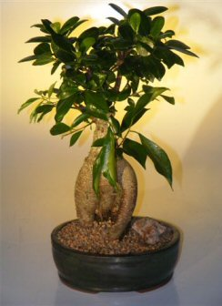 Ginseng Ficus Bonsai Tree - Large (Ficus Retusa)