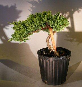 Pre Bonsai Juniper Bonsai Tree - Staked(Juniper Procumbens nana) Image