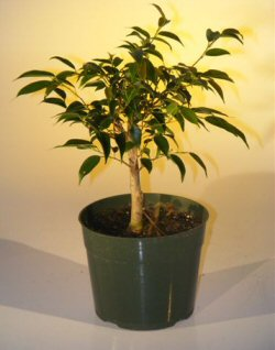 Image: Pre Bonsai Ficus Midnight Bonsai Tree - Large (benjamina 'midnight')