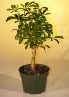 Pre Bonsai Hawaiian Umbrella Bonsai Tree - Small(arboricola schefflera 'luseanne') Image