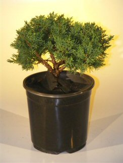 Pre Bonsai Shimpaku Bonsai Tree Bonsai Tree - Large<br><i>(shimpaku itoigawa)</i>
