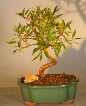 Willow Leaf Ficus Bonsai Tree - Coiled Trunk Large (ficus nerifolia/salicafolia)