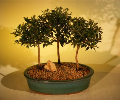 Flowering Brush Cherry Bonsai Tree Three (3) Tree Forest Group (eugenia myrtifolia)