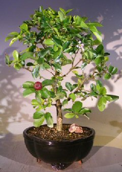Flowering Dwarf Weeping Barbados Cherry Bonsai Tree - Large (malpighia Pendiculata)