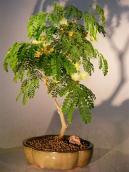Image: Flowering Brazilian Raintree Bonsai Tree - Medium  (pithecellobium tortum)