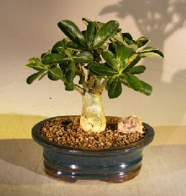 Flowering Desert Rose Bonsai Tree - Small (Adenium Obesum) Image