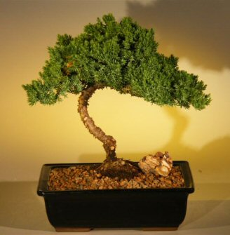 Juniper Bonsai Tree - Medium Extra Size (juniper procumbens 'nana') Image