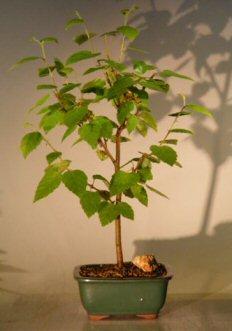 Image: River  Birch Bonsai Tree (betula nigra)