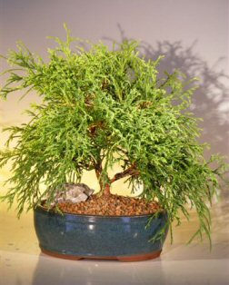 Green Thread Cypress Bonsai Tree (chamaecyparis pisifera 'filifera nana')