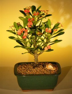 Flowering Crown of Thorns Bonsai Tree – Red / Salmon (euphorbia milii)