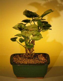 Alocasia  (dwarf alocasia)