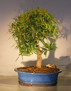 Willow Leaf Ficus Bonsai Tree - Shohin Style (ficus nerifolia/salicafolia)