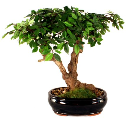 Artificial Ficus Bonsai Tree
