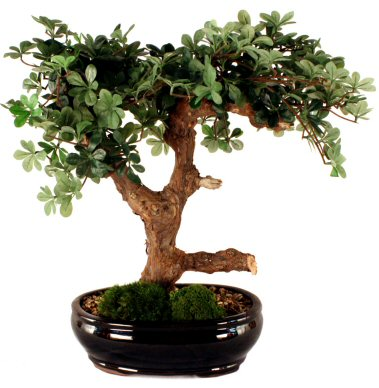 Artificial Boxwood Bonsai Tree - Handcrafted