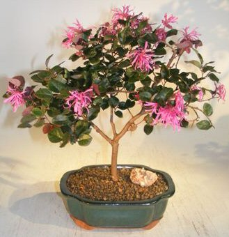 Image: Flowering Chinese Fringe Bonsai Tree (loropetalum chinensis)