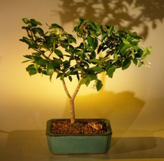 Flowering Water Jasmine Bonsai Tree - Medium  (wrightia religiosa)