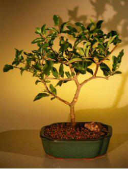 Flowering Barbados Cherry Bonsai Tree Large Malpighia Punicifolia