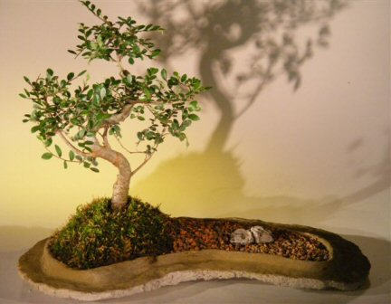 Chinese Elm Bonsai Tree On Rock Slab (ulmus parvifolia)
