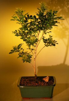 Flowering Chinese Perfume Bonsai Tree  (aglaia orodata)