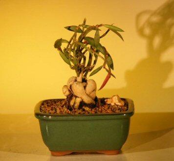 Flowering Red Monadenium Montanum  (euphorbia rubellum)