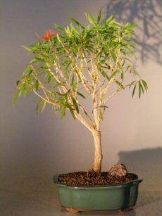 Flowering Bottlebrush Red Cluster Bonsai Tree Callistemon Rigidus