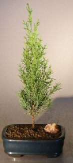 Italian Cypress Evergreen Bonsai Tree (cupressus sempervirens)