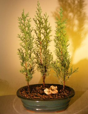 Italian Cypress Evergreen Bonsai Tree Three Tree Forest Group (cupressus sempervirens)