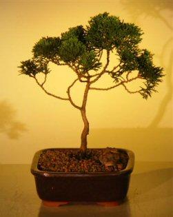 Image: Hinoki Cypress Bonsai Tree  - Medium (chamecyparis obtusa 'compacta')