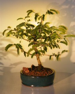 Flowering Ironwood Bonsai Tree (lignum-vitae)