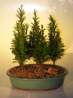 Italian Cypress Evergreen Bonsai Tree Five Tree Forest Group (cupressus sempervirens)