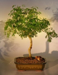 Flowering Brazilian Raintree Bonsai Tree - Extra Large (pithecellobium tortum)