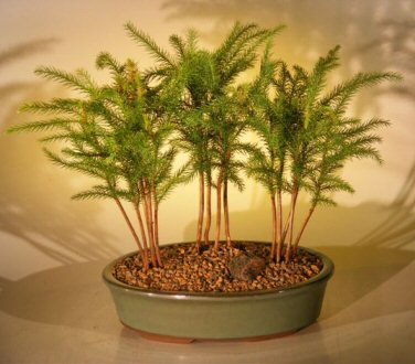 Norfolk Island Pine Bonsai Tree - Three (3) Tree Forest Group (araucaria heterophila)