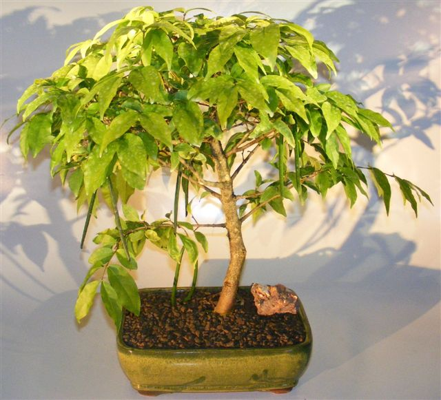 Flowering Water Jasmine Bonsai Tree - Extra Large  (wrightia religiosa)