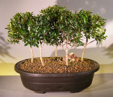 Flowering Brush Cherry Bonsai Tree<br>Five Tree Forest Group<br><i>(eugenia myrtifolia)</i>