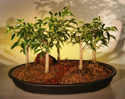 Oriental Ficus Bonsai Tree<br>Five (5) Tree Forest Group <br><i>(benjamina 'orientalis')</i>