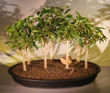 Oriental Ficus Bonsai Tree Seven (7) Tree Forest Group (benjamina 'orientalis')