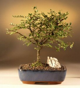 Chinese Elm Bonsai Tree - Straight Trunk (ulmus parvifolia)