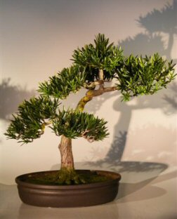 Artificial Podocarpus Bonsai Tree - Large