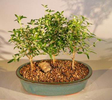 Flowering White Serissa Bonsai Tree Bonsai Tree of a Thousand Stars - Three Tree Forest Group (serissa japonica)