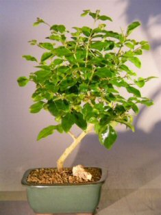 Flowering Ligustrum Bonsai Tree - Small (ligustrum lucidum)