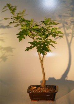 Image: Pin Oak Bonsai Tree ('quercus palustris')